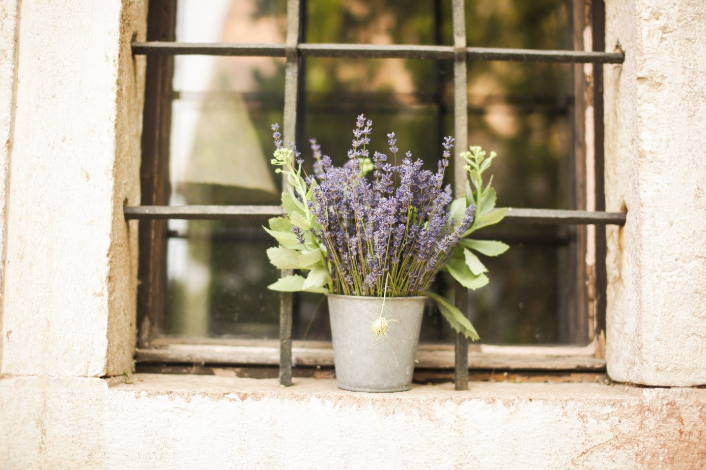 Lavender in an old window