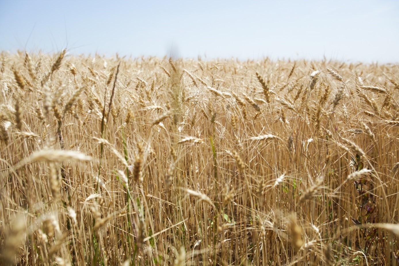 Weizen entlang des Marienweges in Ungarn